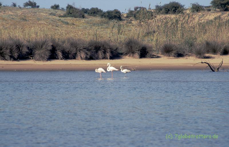 Marokko 1996: Flamingos in Sidi R'bat