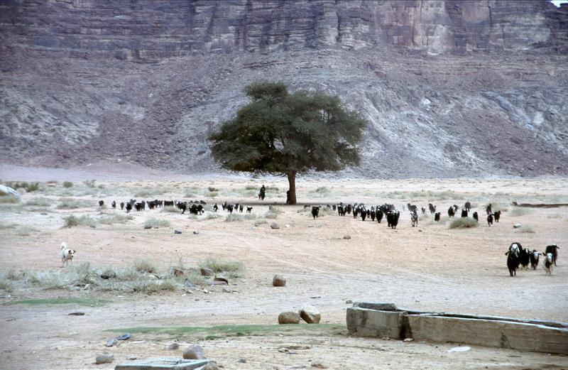 Ziegenherde im Wadi Rum