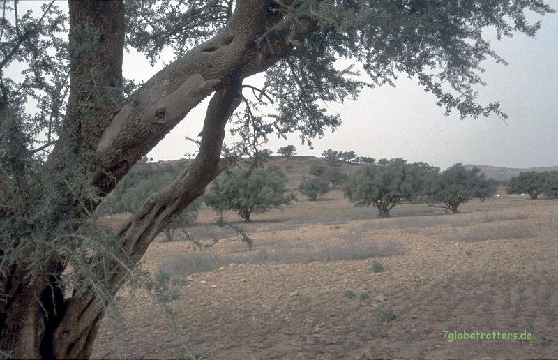 Arganbäume in Tafraoute, Marokko