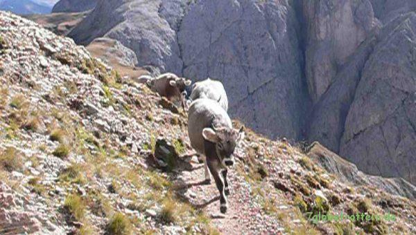 Gegenverkehr beim Abstieg zum Tierser Alpl