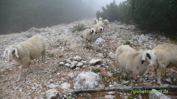 Schafe am Bärenloch
