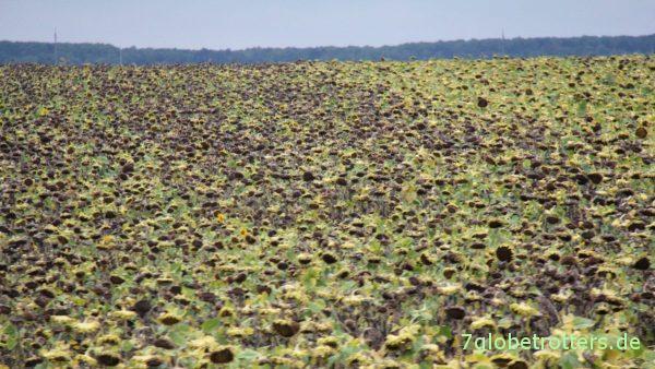 Die ersten Sonnenblumenfelder