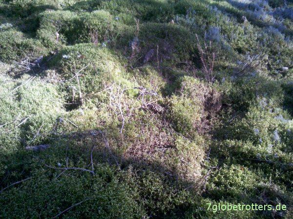 Butterkuchen mit Schlagsahne: Waldboden in Schweden