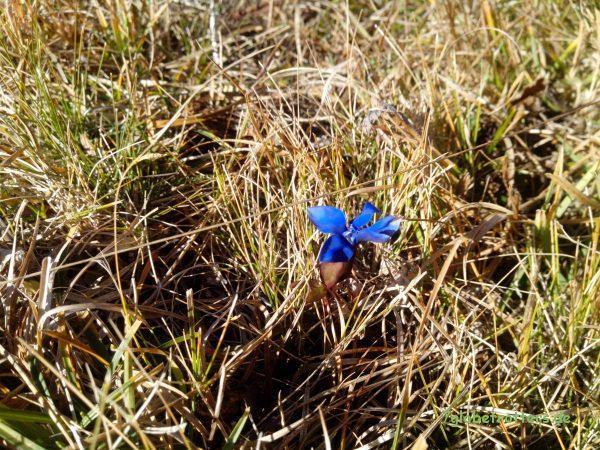 Ja, ja, so blau, blau, blau blüht der Enzian...