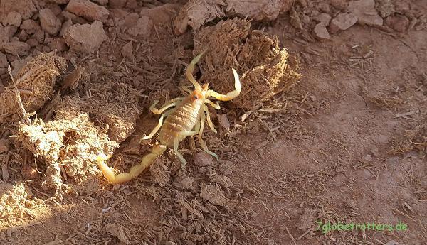 Marokko: Skorpion unterm Moped