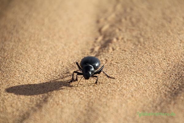 Irgend ein Wüstenlaufkäfer
