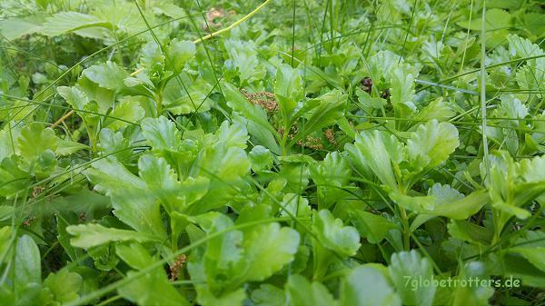 Mai auf dem Gründach: Sedum kamtschaticum (Weihenstephaner Gold)