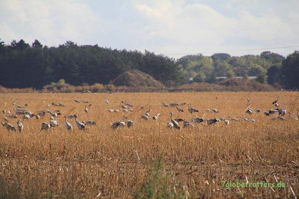 Ziel der Kranichtour: Die Kranichfelder am Bock
