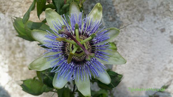 Cassis: Maracuja - Blüte