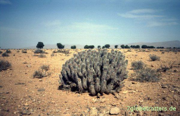 Wüstengesträuch bei Bou Izakarn, Südmarokko