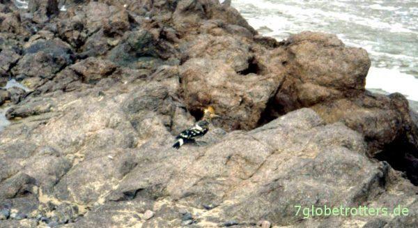 Wiedehopf am Strand von Sidi Ifni