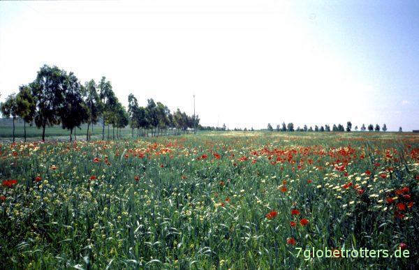 Marokkanische Blumenwiese bei Tiznit