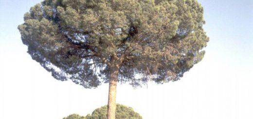 Schöne Pinie in der Sierra del Pobo