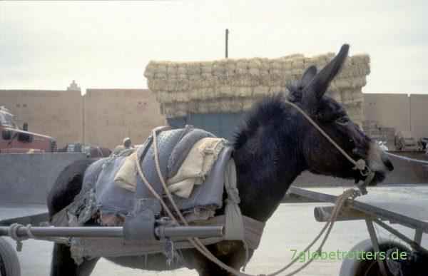 Esel in Er Rachidia
