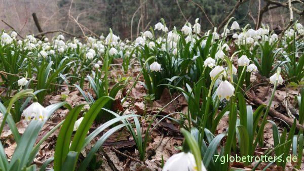 Die Märzenbecher blühen auch 2017 wieder im Polenztal