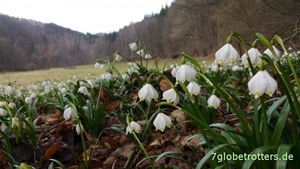 Märzenbecherwiesen in voller Blüte