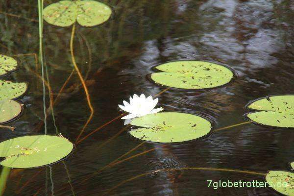 Seerosen auf den Seen im Glaskogen