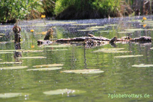 Vorsicht, Alligatoren!