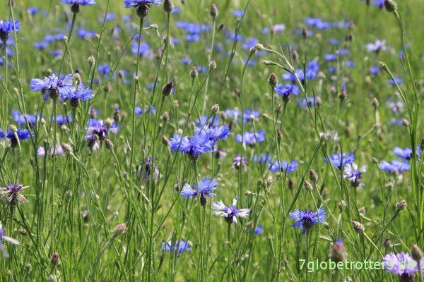 Blumenpflücken im Stau vor Löwenberg