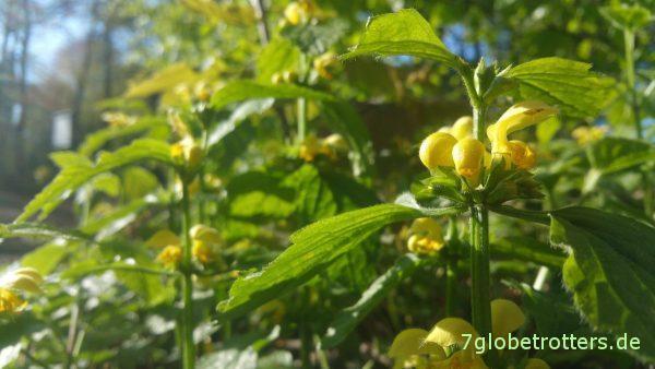 Erfrischung am Wegesrand: Gelbe Taubnesseln