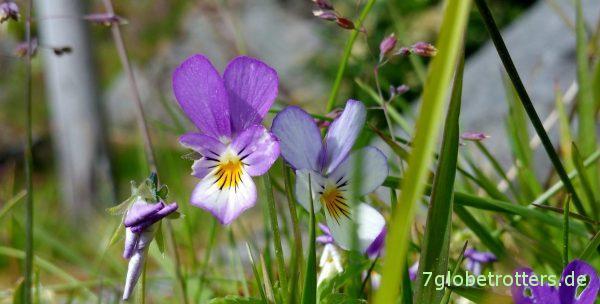 Reiche Blumenwelt auf den Lofoten