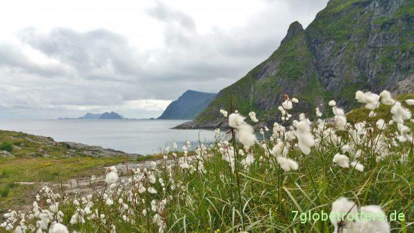 Massenhaft Wollgras auf den Lofoten