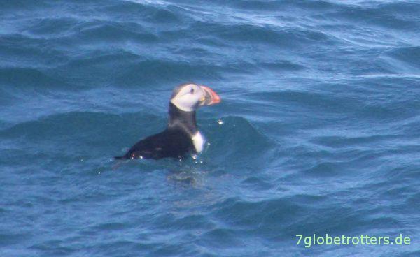 Netter Beifang: Papageitaucher (Puffins) beobachten auf der Walsafari