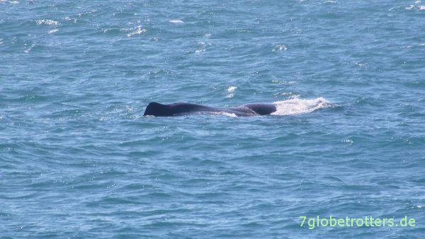 Wale beobachten in Norwegen: Der erste Pottwalrücken