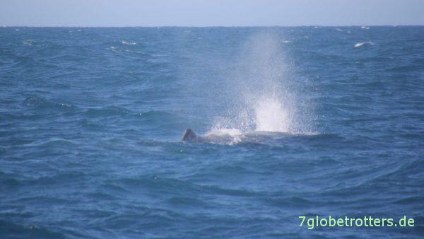Wichtig beim Wale beobachten: Ausschauu halten nach dem Blas