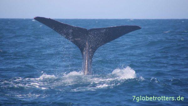 Und auch der 3. Wal geht vor Norwegens Küste auf Krakenjagd