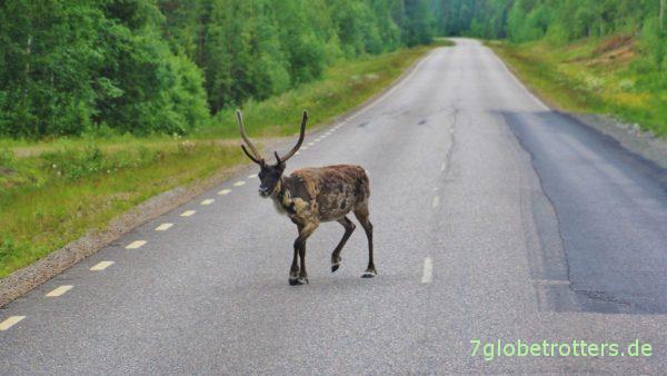 Und schon wieder Rentiere. Diesmal in Nordschweden