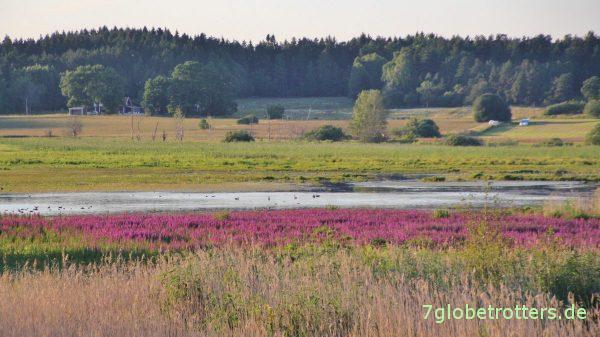 Naturreservat Fysingen: Sumpf, Mücken und Vögel