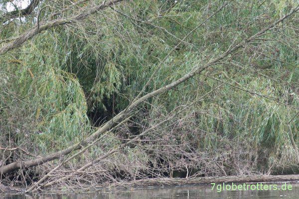 Irgendwo im Geäst sitzt der erste Eisvogel über der Lahn