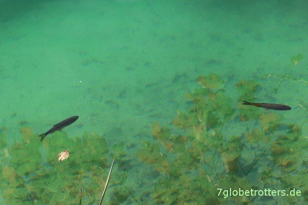 Plitvicer Seen: Fische im klaren Wasser
