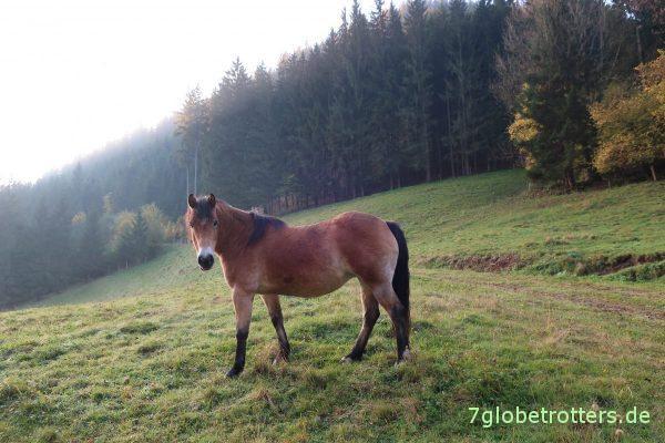 Pferdchen auf der Weide