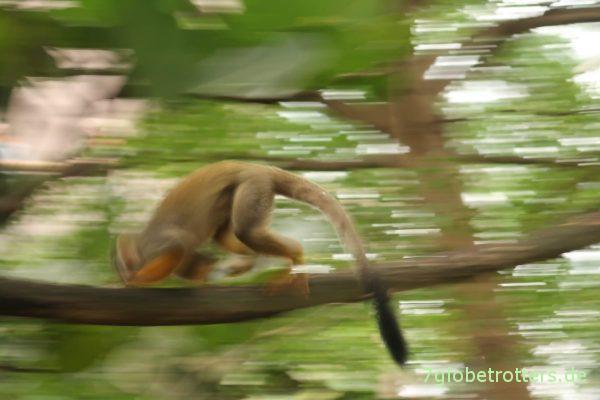 Totenkopfäffchen Jack im Gondwanaland im Zoo Leipzig