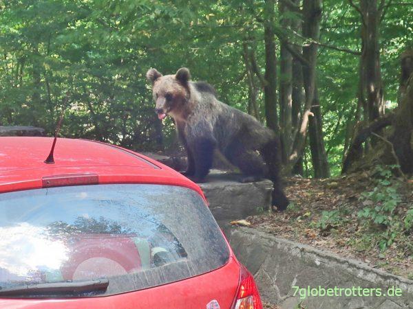Rumänien Transfăgărășan Bären in den Karpaten Fütterung